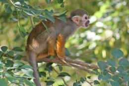 spider monkey in african forest spider monkey information 915