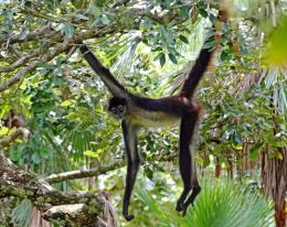 Spider Monkey Wallpaper | Spider Monkey Pictures | Cool Wallpapers 1255