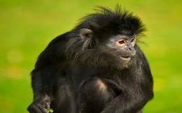 Spider Monkey Wallpaper | Spider Monkey Pictures | Cool Wallpapers 930