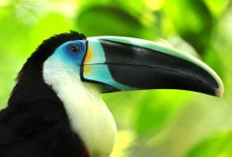 Toucan Bird HD Wallpaper | Toucan Pictures | Cool Wallpapers 1717