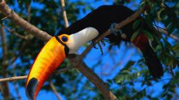 toucan bird background image toucan bird pictures toucan bird images 713