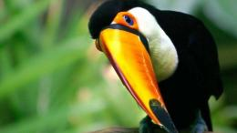Toucan Bird HD Wallpaper 1239