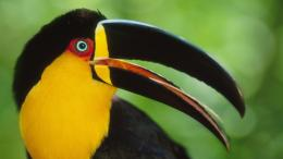 Toucan Beak Bird Colorful HD Wallpaper 1682