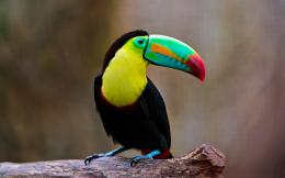 birds toucan bird background image toucan bird pictures toucan bird 1312