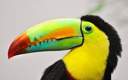 toucan bird background image toucan bird pictures toucan bird images 589