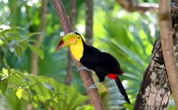 Toucan Bird HD Wallpapers 1077