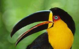 Colored toucan hd Wallpapers Pictures Photos Images 1657