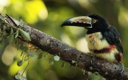 toucan bird tuokong hd wallpaper 2 colorful toucan bird tuokong hd 1366