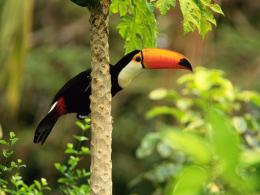 Toco Toucan in the Tropical Forest Wallpapers | HD Wallpapers 425