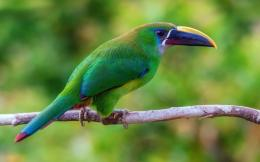 Toucan Bird hd wallpaper 666