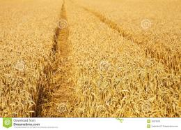 Wheat Field Royalty Free Stock PhotosImage: 32873618 1368