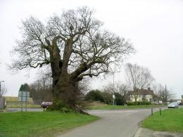 Description Baginton oak tree in winter 18f07 JPG 952