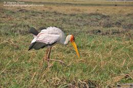 The Chobe River – A Birdwatcher's Paradise 1166