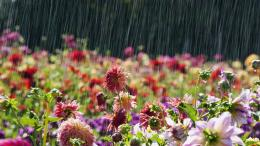 Rain on Flowers Wallpapers | HD Wallpapers | Pictures | Images 1819