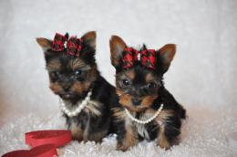 Yorkshire Terrier dogs photo and wallpaperBeautiful Sweet Yorkshire 229
