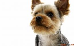 The most popular dog in the room today is a Yorkshire Terrier 1028