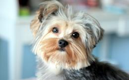 Dog Yorkshire Terrier wallpapers and imageswallpapers, pictures 1486