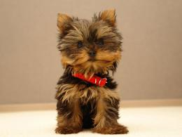 Yorkshire Terrier dog photo and wallpaperBeautiful Lovely Yorkshire 1267