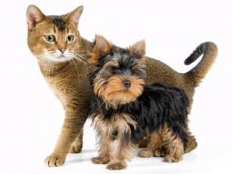 Yorkshire Terrier dog and cat photo and wallpaperBeautiful Yorkshire 1617