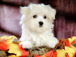 White Yorkshire Terrier dog wallpaper 576