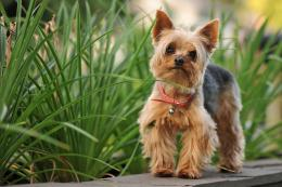 Wallpaper yorkshire terrier, dog, nature wallpapers dogdownload 687