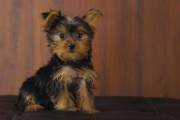 Yorkshire Terrier Dog Wallpaper | Yorkshire Terrier Dog Pictures 326