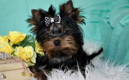 Yorkshire Terrier Dogs Animals hd wallpaper #1541394 712