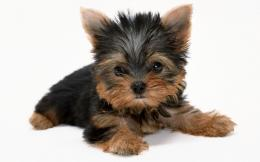 Yorkshire Terrier Dog Wallpaper | Yorkshire Terrier Dog Pictures 867
