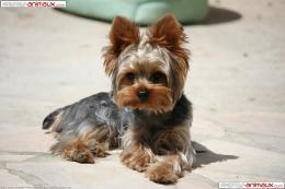 Yorkshire Terrier Wallpaper 789