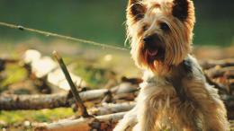 Yorkshire Terrier Dog Wallpaper HD 996