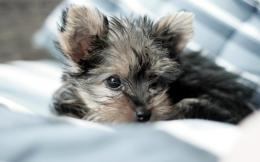 Yorkshire Terrier Dog Wallpaper | Yorkshire Terrier Dog Pictures 365