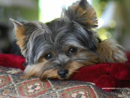 Yorkshire Terriers The beautiful Yorkie 1572
