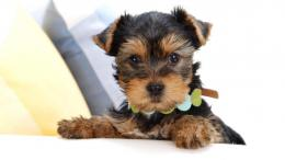 cute puppy yorkie puppie terrier free hd 90780 207