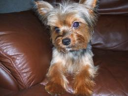 Terrier on the couch photo and wallpaperBeautiful Yorkshire Terrier 1089