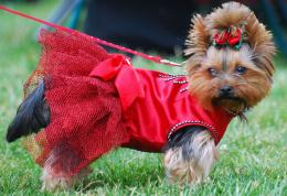 Yorkshire Terrier dog in the red dress photo and wallpaperBeautiful 1350