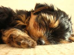 snooze 1024x768 wallpaper 4 more yorkshire terrier wallpapers home 954