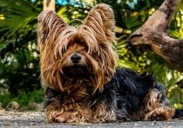 Animal Dog Yorkshire Terrier Wallpaper 1920×1352 | Cool PC Wallpapers 421