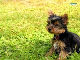 yorkshire terrier puppySuperb Wallpapers Wallpaper28529357 408