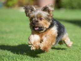 Yorkshire terrier, york, dog, running, grass, lawn wallpapersphotos 635