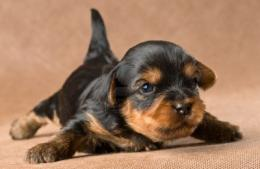 Dogs, Free Yorkshire Terrier Puppies, Yorkie Wallpaper Free, Yorkshire 300