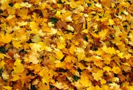 Mostly yellow autumn leaves on the ground 1616
