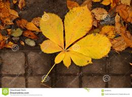 autumn leaves leaf chestnut tree falling to ground 62900915 jpg 713