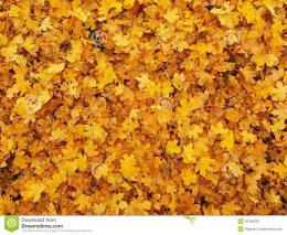 Autumn Park Ground With Dry Yellow Orange Maple Leaves , Colorful Leaf 611