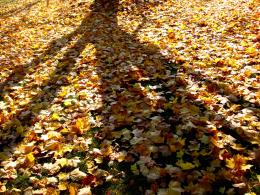 Amp: Photo of catching autumn maple leaf with hand in the sunLeaves 597