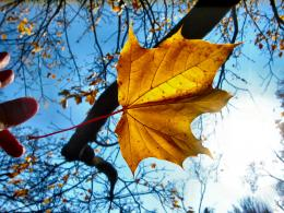 Amp: Photo of catching autumn maple leaf with hand in the sunLeaves 593