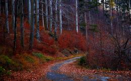 road autumn forest leaves red trees jpg 1191