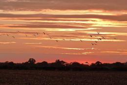 flock of birds flying into the sunset across the Norfolk fields 1376