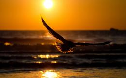 Flying bird in sunset Wallpapers Pictures Photos Images 977