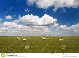 Sheep In Flat Landscape Stock PhotoImage: 15387440 310