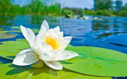 White Lotus on the lake wallpapers and imageswallpapers, pictures 1874